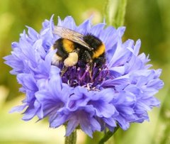 bee-on-blue-flower-cropped